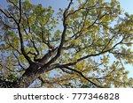 Canopy Of Mahogany Tree With...