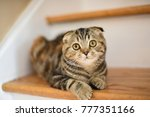 Stock photo small brown striped scottish fold kitten cat hanging out around the house napping with folded ears 777351166
