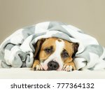 funny staffordshire terrier... | Shutterstock . vector #777364132