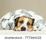 funny staffordshire terrier... | Shutterstock . vector #777364132