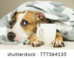 funny young pitbull dog in bed... | Shutterstock . vector #777364135