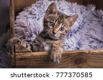 Stock photo a blackspotted nine weeks old bengal kitten climbing out of a a old wooden box with fluffy blanket 777370585