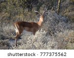 Small photo of curious adult impala, Aepyceros datoadeni, Etosha Park Namibia