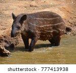 the south american tapir ... | Shutterstock . vector #777413938