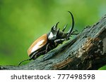 five horned rhinoceros beetle ... | Shutterstock . vector #777498598