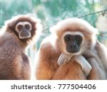A Male Lar Gibbon Ape ...