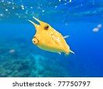 A Longhorn Cowfish  Lactoria...