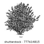 hazel bush illustration ... | Shutterstock .eps vector #777614815