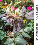 Raindrops On Rosebush In Autumn