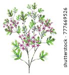 watercolor drawing of twig with ... | Shutterstock . vector #777669526