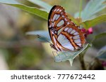 Small photo of Philaethria dido, butterfly