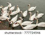 A Flock Of Swans In River...