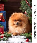Pomeranian Dog In Christmas...