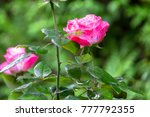 Stock photo beautiful roses in garden on soft light background roses for valentine day 777792355