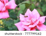 bee and beautiful blooming rose | Shutterstock . vector #777799162