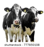 Two Cows On A White Background