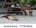 Galapagos Sea Lions Lazily...