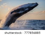 humpback whale close up... | Shutterstock . vector #777856885