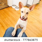 Stock photo podenco dog ready for a walk with owner or hungry begging on lap inside their home 777863875
