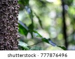 Ceiba Pentandra. Ceiba Tree. A...