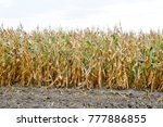 ripened corn on the field.... | Shutterstock . vector #777886855