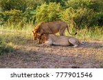 Small photo of Two wild lion males who cuddle with each other