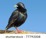 Close up of a starling bird. - stock photo