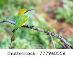 green bee eater or merops... | Shutterstock . vector #777960556