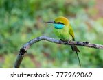 green bee eater or merops... | Shutterstock . vector #777962062
