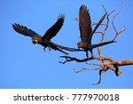 Two Hyacinth Macaws Taking Off...