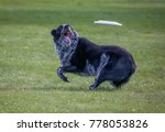 a dog playing fetch in a local...   Shutterstock . vector #778053826