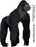 vector male gorilla | Shutterstock .eps vector #778076062