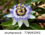 Small photo of Passion Flower or Passiflora leaves in tropical garden. Beautiful passion fruit flower or Passiflora (Passifloraceae). Passiflora is a genus of 550 species. Blue passiflora wild grows in Spain.