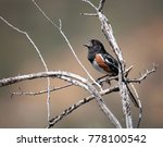 single spotted towhee singing...   Shutterstock . vector #778100542
