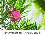Closeup Pink Oleander Or Neriu...