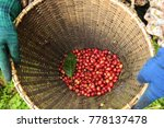 fresh coffee bean in basket   Shutterstock . vector #778137478