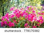 purple flowering bougainvillea | Shutterstock . vector #778170382