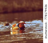 Small photo of A colourful male mandarin duck. (Aix galericulata)