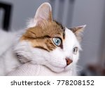 Stock photo blue eyed cat 778208152