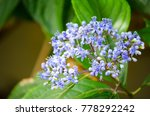 Small photo of Ceanothus impressus 'Victoria' blueblos flower in a spring season at a botanical garden.