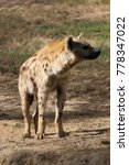 hyena spotted whole quarter on... | Shutterstock . vector #778347022