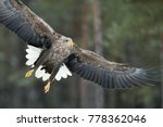 white tailed eagle in flight... | Shutterstock . vector #778362046