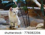 young arabian sand cat  felis... | Shutterstock . vector #778382206
