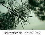 pine branch. monochrome