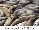 sea lions on california coast north of santa monica may 2011 crowded together for heat - stock photo