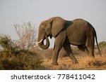 solitary african savanna...   Shutterstock . vector #778411042
