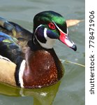 male wood duck or carolina duck ... | Shutterstock . vector #778471906