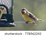 lesser goldfinch with avian pox ... | Shutterstock . vector #778562242