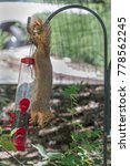 Eastern Fox Squirrel Hanging...