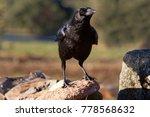 carrion crow. corvus corone | Shutterstock . vector #778568632